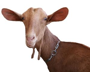 cabra de malaga