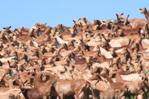 cabras de malaga